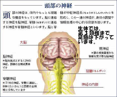 延髄 (Medulla Oblongata) | 整...