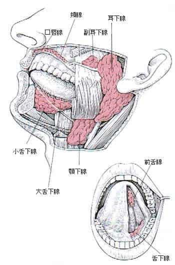 逆流性食道炎と8種類の唾液腺
